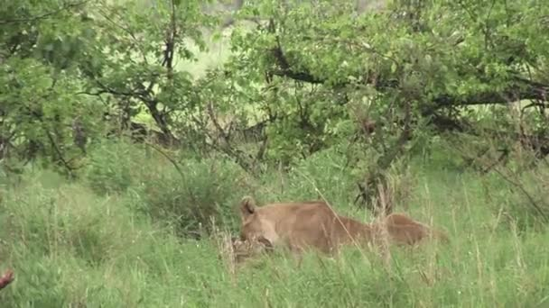 eating buffalo Lion wild dangerous mammal africa savannah Kenya