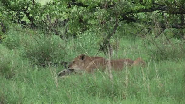 eating buffalo Lion wild dangerous mammal africa savannah Kenya