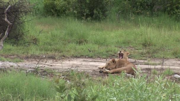 oroszlán vad veszélyes emlős afrikai szavanna Kenya