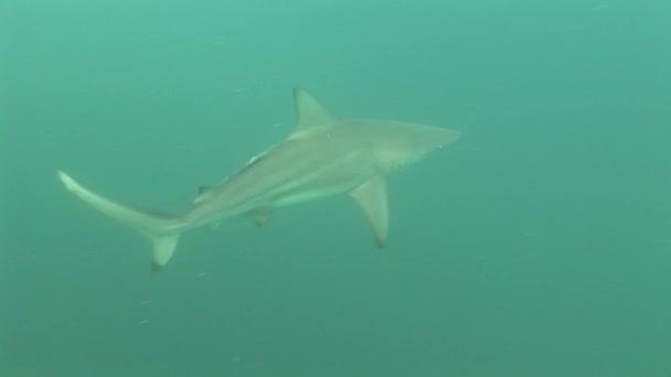Szürke cápa víz alatti videó