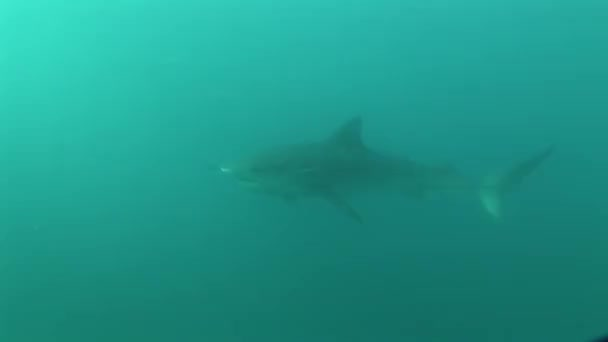 Gefährliches Tigerhai-Unterwasser-Video