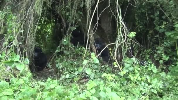 Wild Gorilla Rwanda tropical Forest