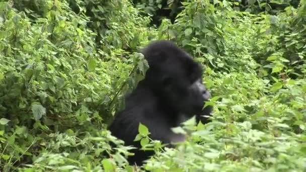 Gorilla Ruanda trópusi erdei