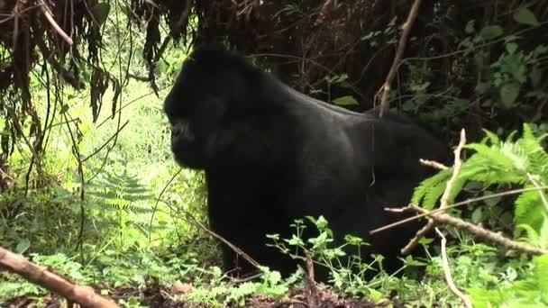 Divoké gorily Rwanda tropický prales