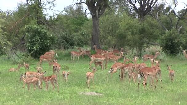Wilden Antilopen in der Savanne afrikanische Botswana