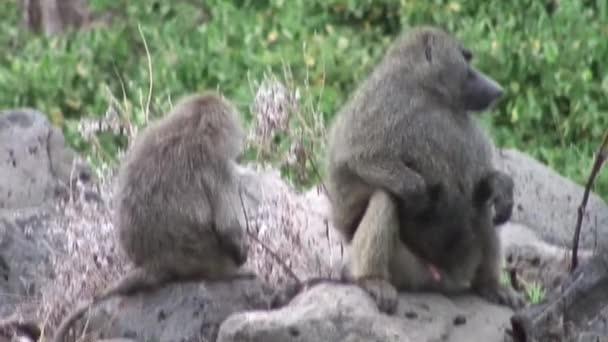 Scimmia del babbuino selvaggio nella savana africana Botswana