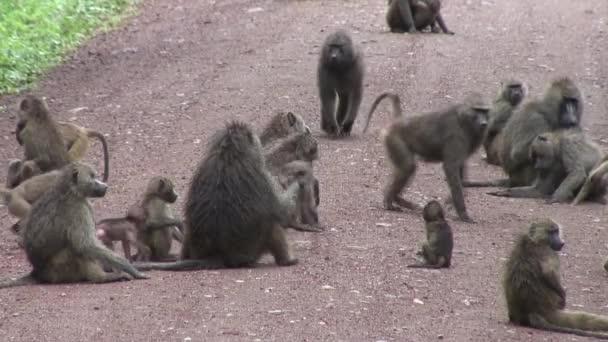 Vad pávián majom Botswana afrikai szavanna