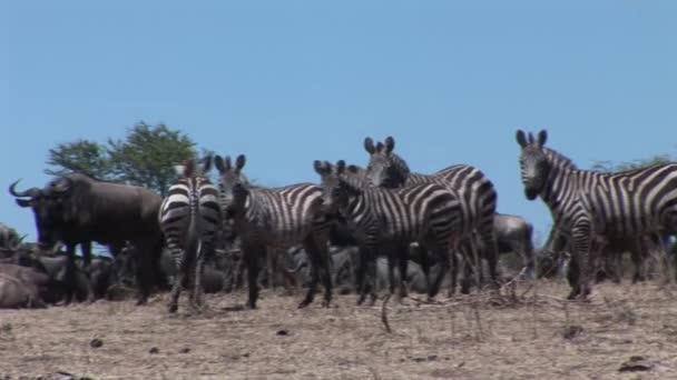 Divoký kůň Zebra v africké Botswaně savany Afriky
