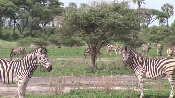Botswana afrikai szavanna Afrika, vadló Zebra