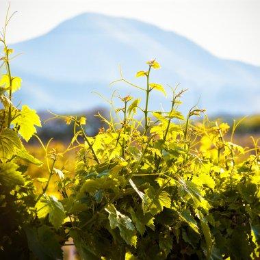 Sunny vineyard in Crimea