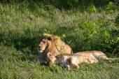 Lev a lvice odpočívat na trávě