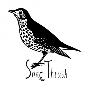 Birds collection Song Thrush Black and white vector