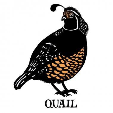 Birds collection  Quail Color vector
