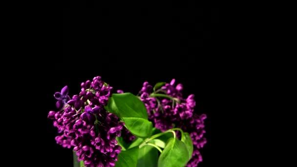 Timelapse of Violet Lilac Blooming on Black Background