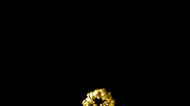 Time-Lapse of Growing and Opening Pink Gerbera Daisy Flower Isolated on Black Background