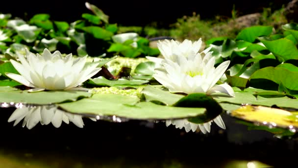 White lotus flower blooming in the morning sunshine stock video white lotus flower blooming in the morning sunshine stock video mightylinksfo