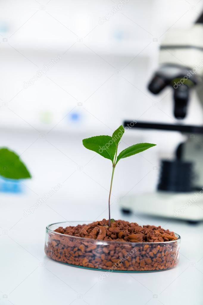 Genetically modified plant tested in petri dish .Ecology laborat