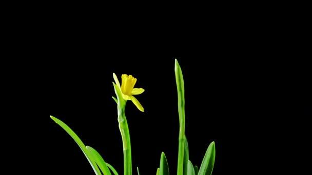 Time-Lapse otevření žlutý Narcis kytice na černém pozadí