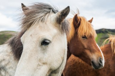 Beautiful white and brown icelandic horses in nature