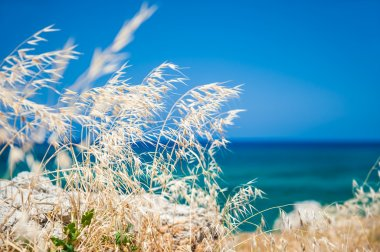 Wild grasses on the sea coast, Crete island, Greece.