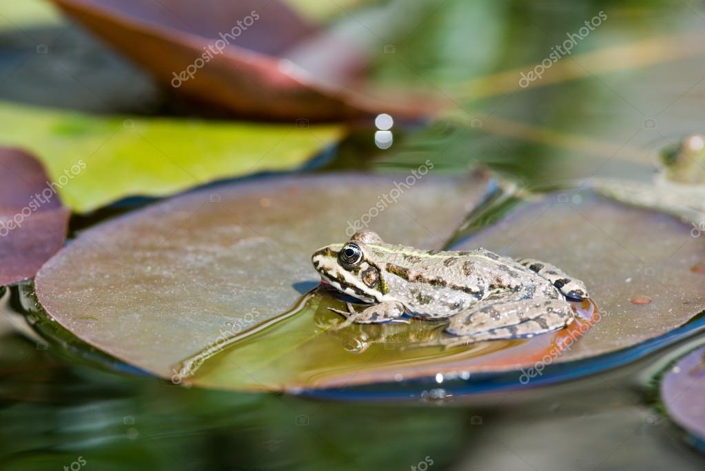 One frog close up view