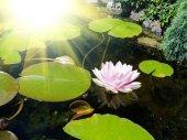 Fotografie Lotosový květ v rybníku
