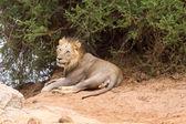 Národní Park Tsavo Lion om v Keni