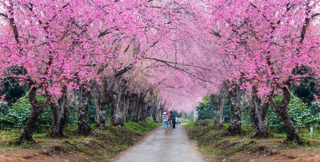 Romantic Road Of Sakura Flower Trees Panorama Stock Photo Luckypic 115825054