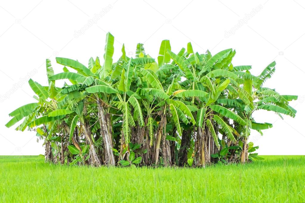 banana tree with fresh green grass isolated on white