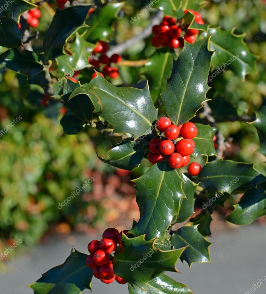 Primo Piano Di Agrifoglio Albero Di Natale Di Bacche Rosse E Foglie Verdi U2014  Foto Stock