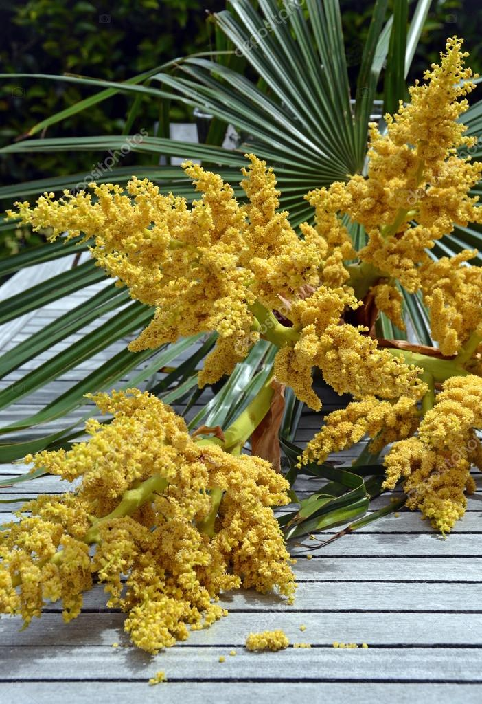 Windmill palm tree spring flowers in christchurch garden stock windmill palm yellow male tree flowers in spring native to northern china latin name trachycarpus fortune photo by nigelspiers mightylinksfo