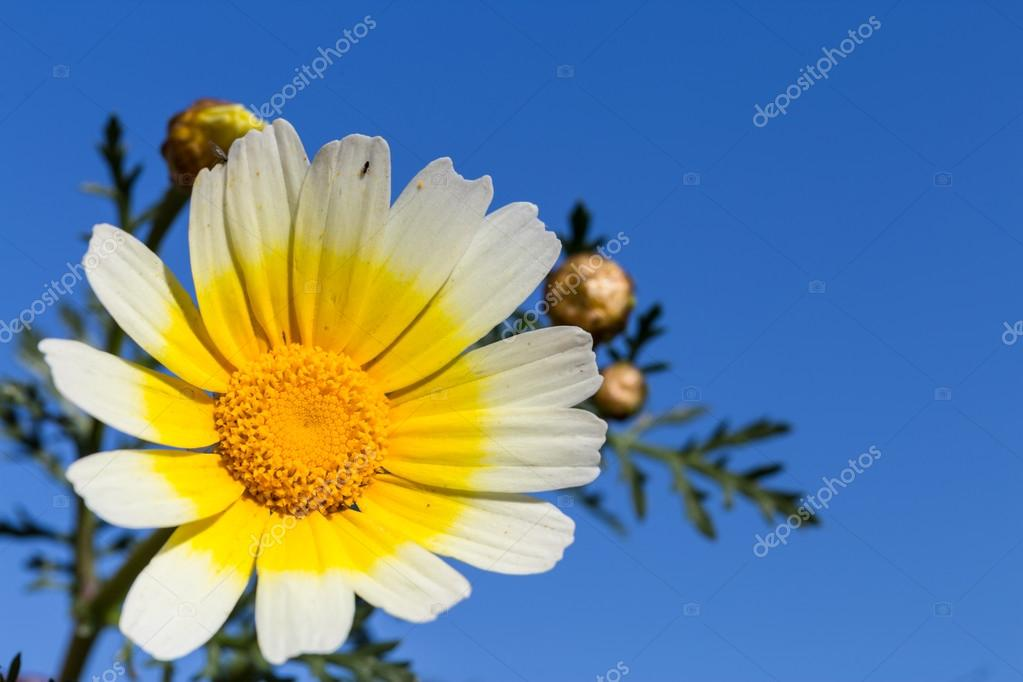 White daisy flower with yellow center against blue sky stock photo white daisy flower with yellow center against blue sky stock photo mightylinksfo