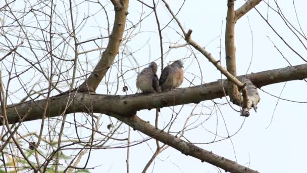 Zebra Dove Preening in Pair