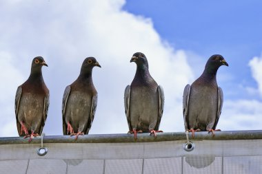 Four young pigeons on a metal bar
