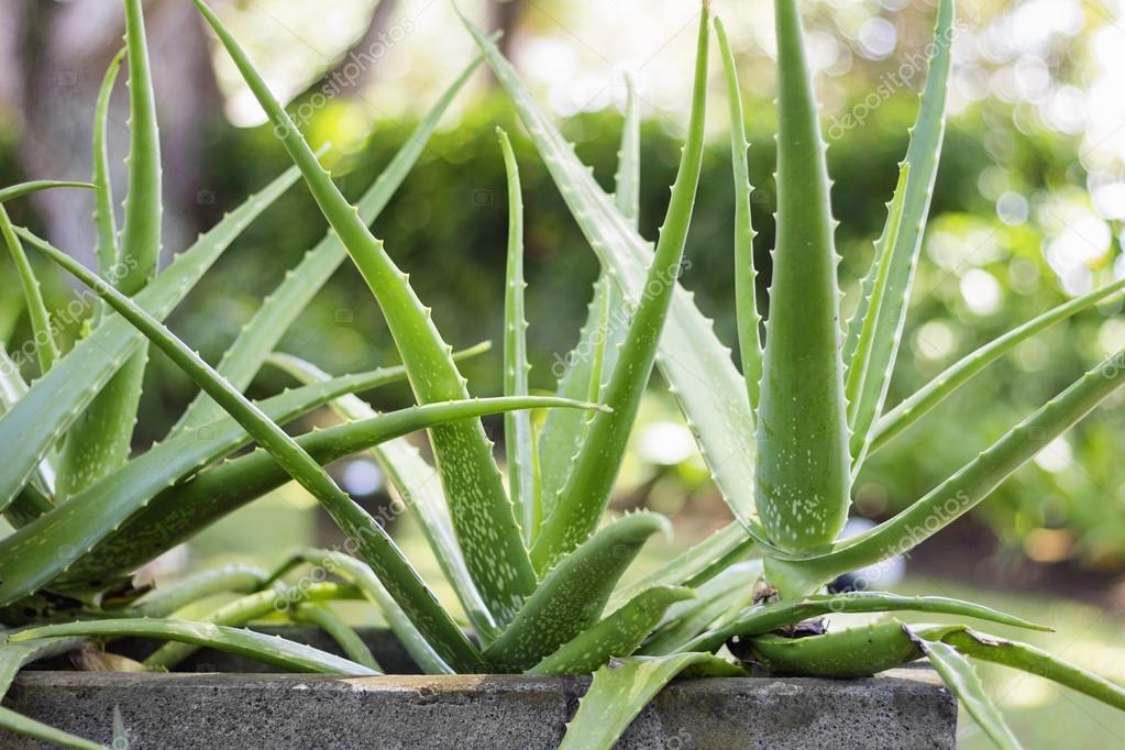 Plante d 39 aloe vera photographie nevada31 79635078 - Aloe vera plante prix ...