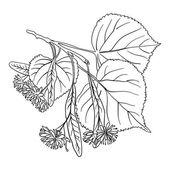 lipového květu