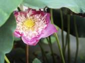Fotografie krásné lotosové květy