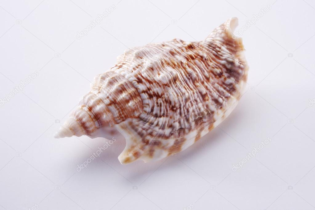 Marine sea shell