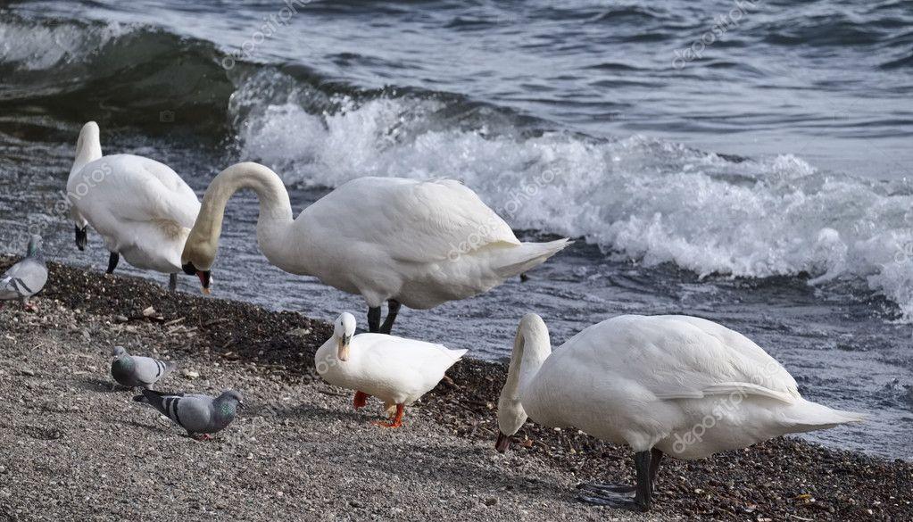 Italy, Lazio, Bracciano lake (Rome), pigeons, ducks and swans by the lake