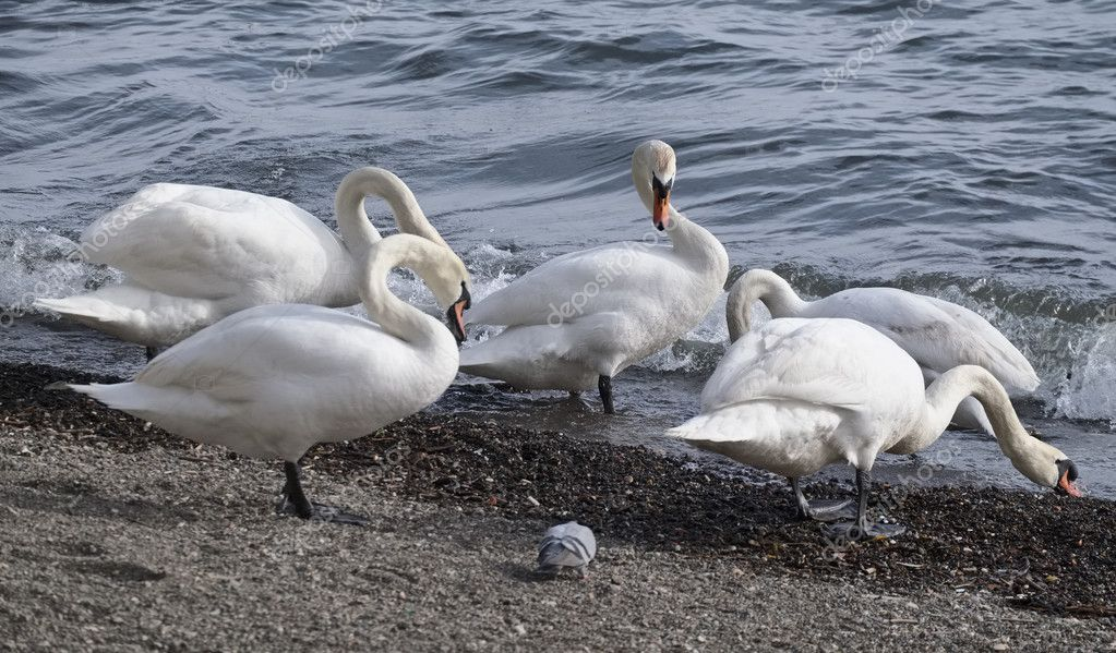 Italy, Lazio, Bracciano lake (Rome), pigeons and swans by the lake