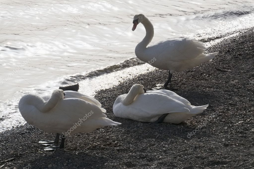 Italy, Bracciano lake (Rome), swans by the lake