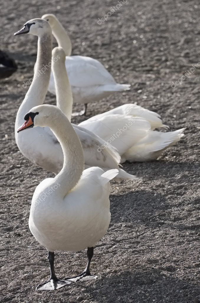 Italy, Bracciano lake (Rome), swans by the lake