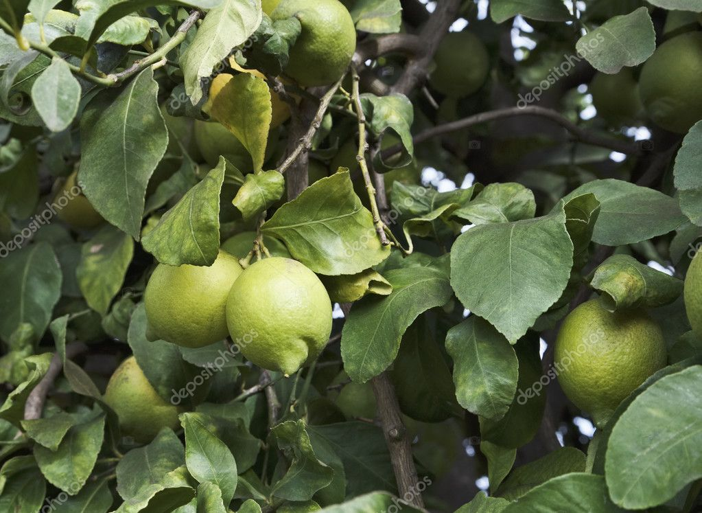 Sicily, countryside, lemons on a lemon tree