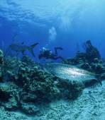Caribbean Sea, Belize, diver and tarpons