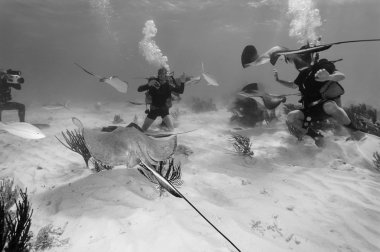 Divers and a stingrays