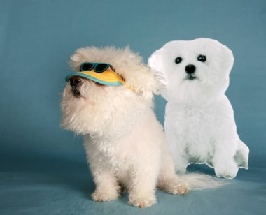 Bichon Frise. A Beautiful Bichon Frise Dog loves to play dress up for different holidays and events. Purebred Bichon Frise dog Costume Party. Easter photo shoot. cinco de mayo party. Easter Bunny Party. Birthday Party. Dog Dress Up Party. Dog Party.