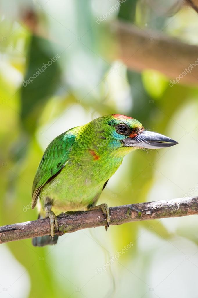 Red-throated Barbet bird