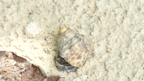 Cangrejo ermitaño (Paguroidea) esconde en su caparazón de protección ...