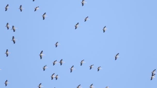 Migrace ptáků, asijské otevřené Billa