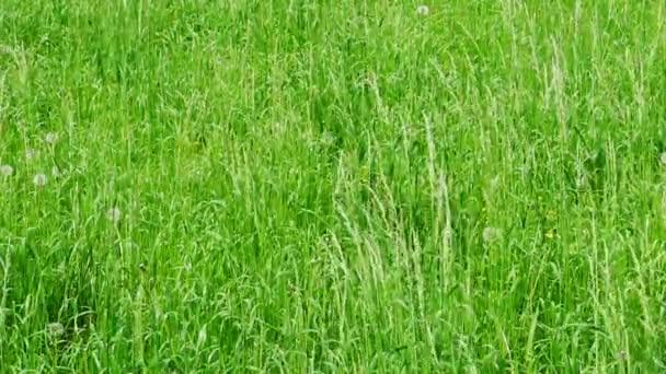 nedotčené louka s čerstvé, šťavnaté, intenzivní zelené trávy